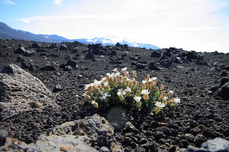 800px-Flower near Hekla