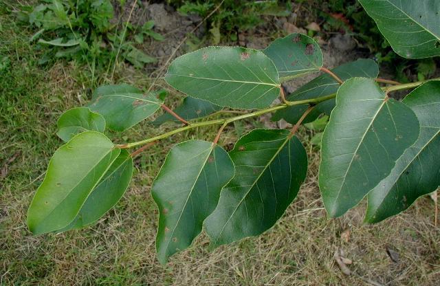 Populus-trichocarpa