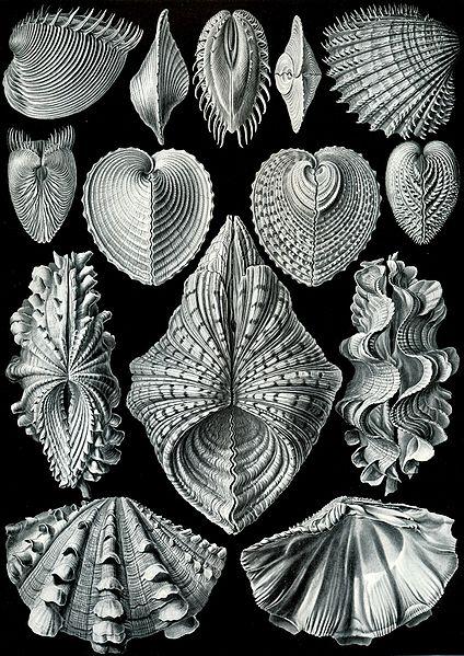 424px-Haeckel_Acephala