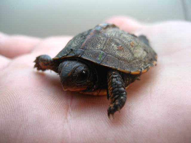 animal-picture-baby-turtle-Sea-Frost-photo
