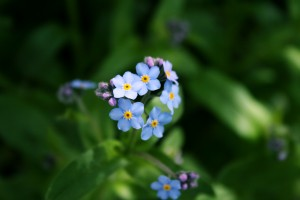 Forget_me_not_flower